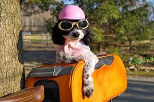Petunia, a four-year-old Jackapoo, has accompanied her mom on two different cross-country cycling trips.