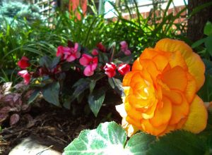 The author's apricot begonia and other treasures from The Living Earth