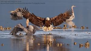 Bald Eagle and Great Blue Herons. (Photo: Bonnie Block/Audubon Photography Awards)